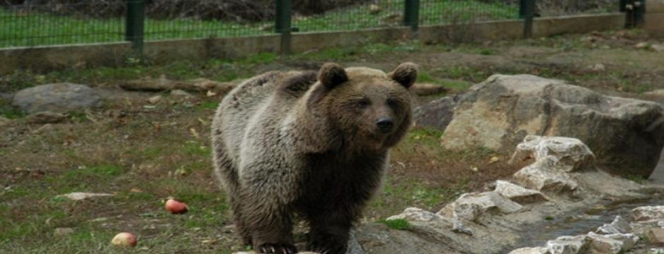 Yaşlı kadını öldüren ayı bulunamayınca itlaf kararı sonlandırıldı