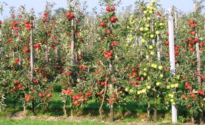 Meyve Fidanı Dikimi,Zamanı,Budaması