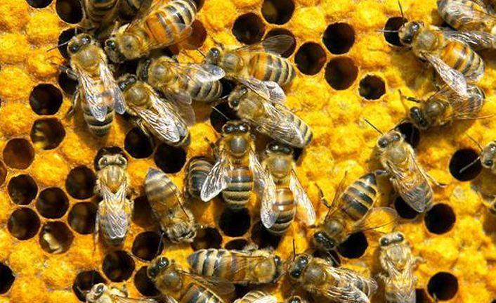 Bilinçsiz tarımsal ilaçlamanın neden olduğu arı katliamları devam ediyor