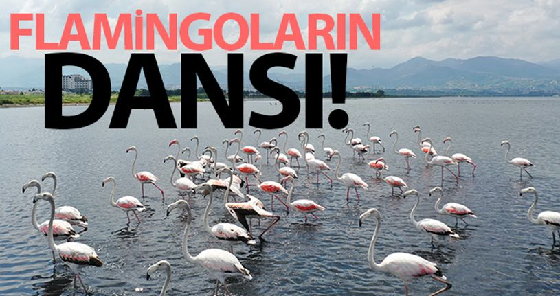 İzmit Körfezi'nde flamingoların dansı