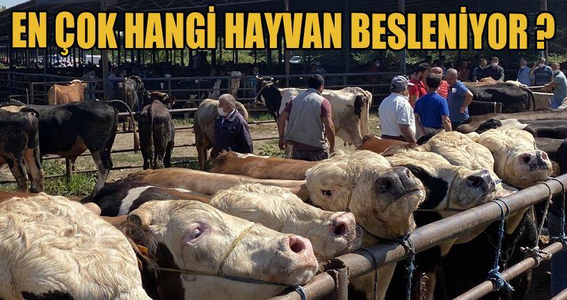 Düzce'deki hayvan sayısı 88 bin 580 olarak açıklandı