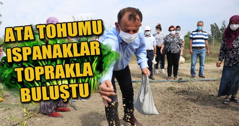 Bolu'da 200 yıllık ıspanak ata tohumları toprakla buluştu