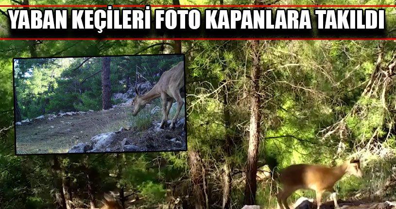 Yaban Keçileri Foto Kapanlara Takıldı