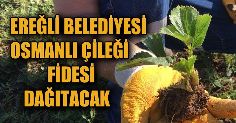 Osmanlı Çileği fidesi için başvurular tamamlandı