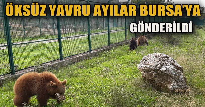Yavru ayılar Bursa'ya gönderildi