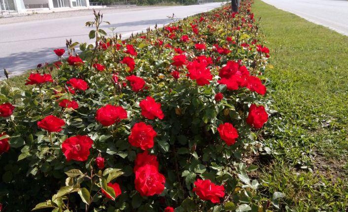 Düzce'de Güllerle Donatılıyor