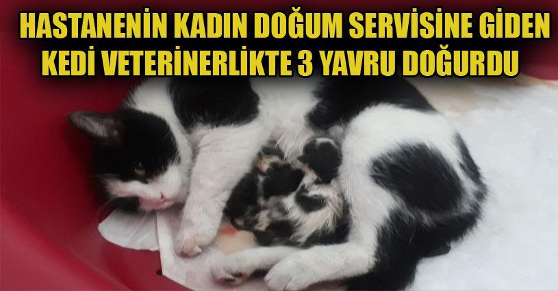 Hastanenin kadın doğum bölümüne giren hamile kedinin veterinerlikte 3 yavrusu oldu