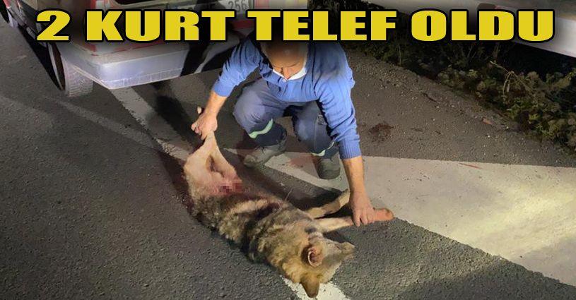 Bolu'da kamyonun çarptığı 2 kurt telef oldu