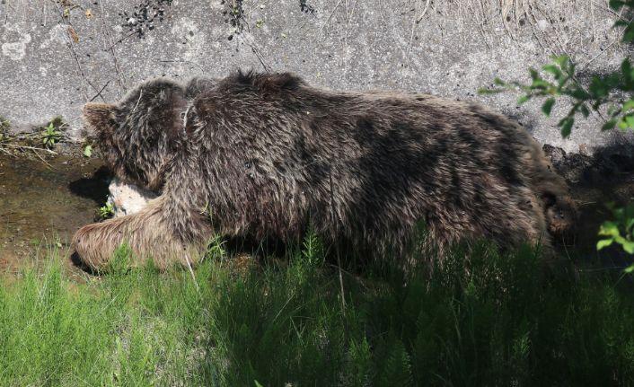 Telef olan ayı, doğal yem olarak öldüğü yerde bırakıldı