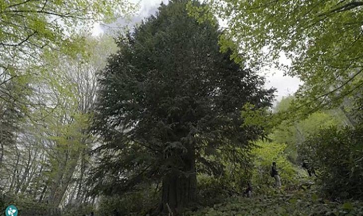 Türkiye'nin En Yaşlı Ağacı 4112 Yaşında