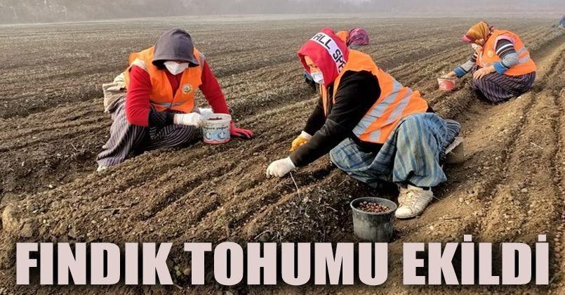 Bolu'da Türk Fındığı tohumu ekimleri devam ediyor