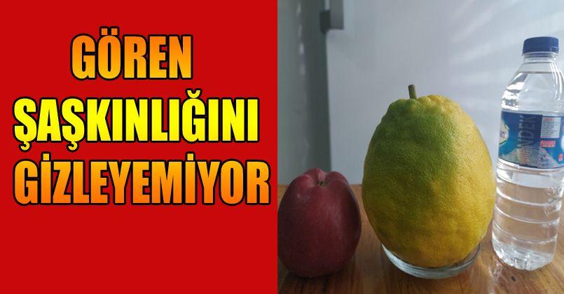 Yılın 12 ayı meyve veren ağaçta, kiloluk limonlar yetişiyor