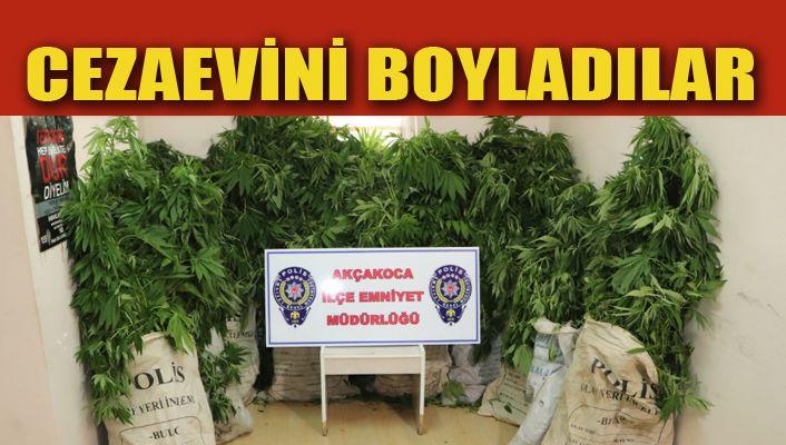Akçakoca'da polisten kenevir operasyonu