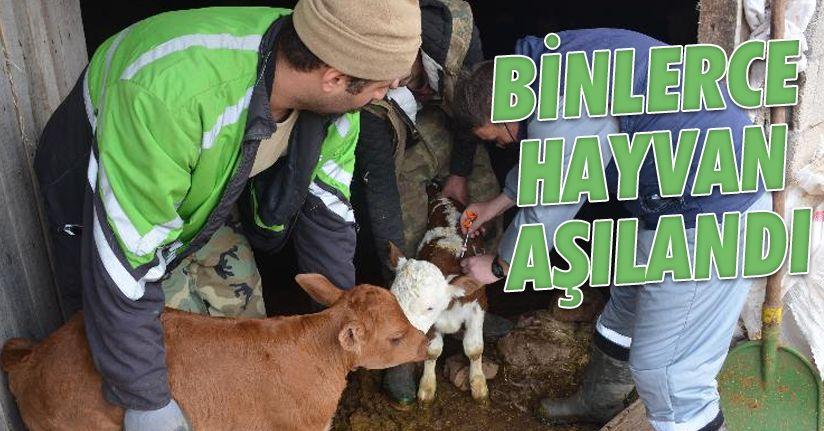 3 bin 818 büyükbaş hayvan aşılandı