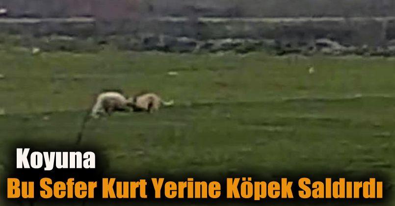 Koyuna bu sefer kurt yerine köpek saldırdı