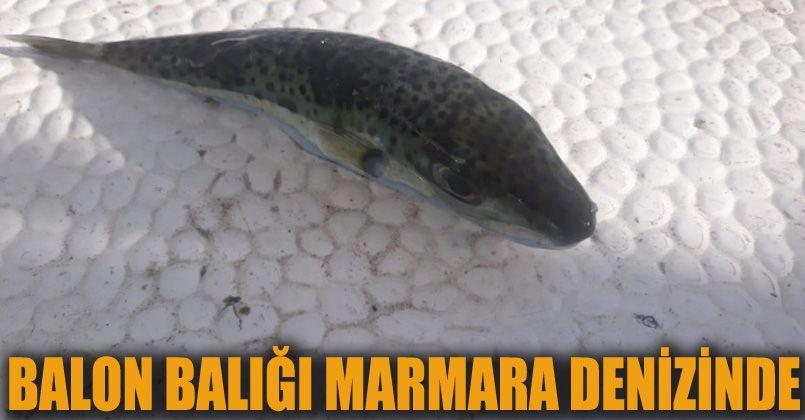 Balıkçıların kabusu balon balığı Marmara denizinde yakalandı