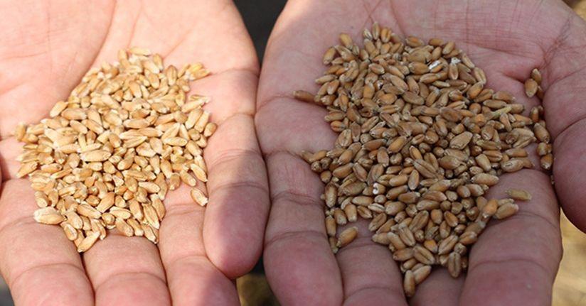 Türk tarımına yeni buğday türleri kazandırılacak