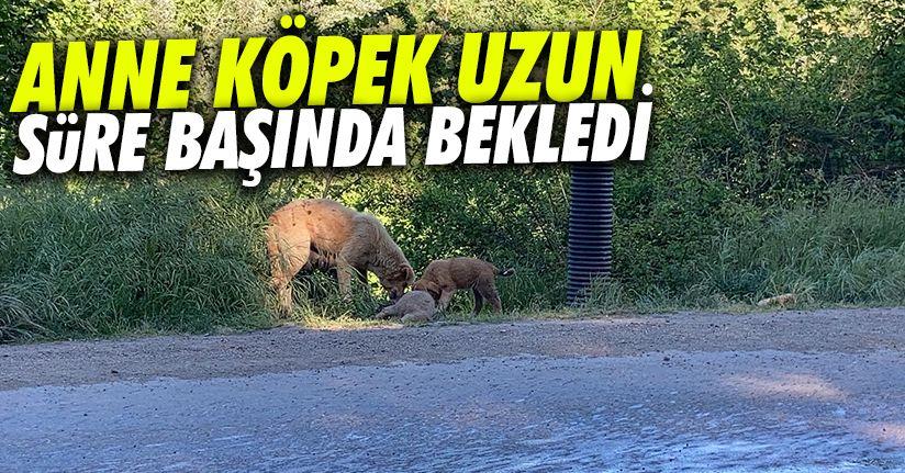 Anne köpek, yavrusunun ölüsünü yol kenarına taşıdı
