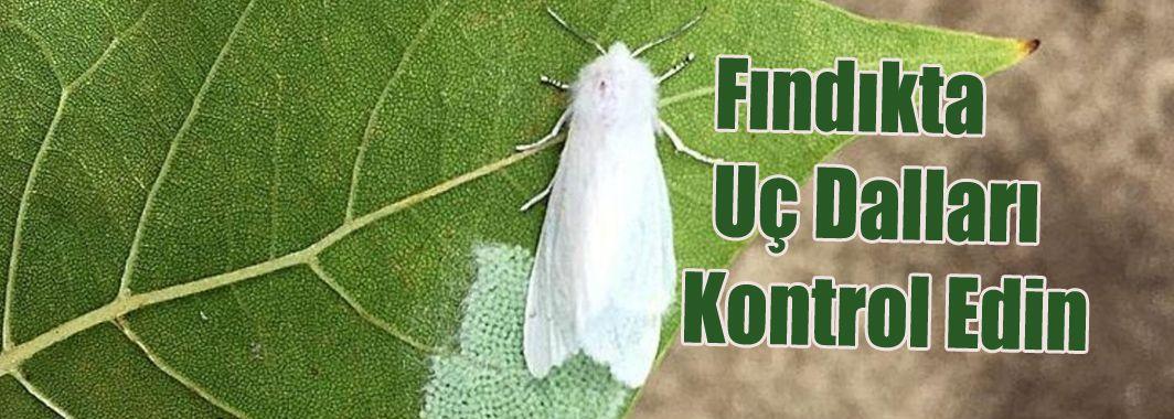 Amerikan Beyaz Kelebeği İle Mücadele Zamanı
