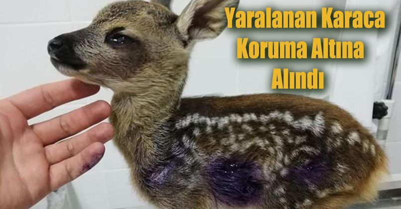 Yaralanan Karaca koruma altına alındı