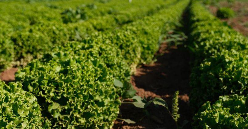 Konya Ovası'nda alternatif ürün marul üretimi artıyor