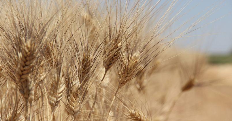 Buğday rekoltesinde büyük düşüş