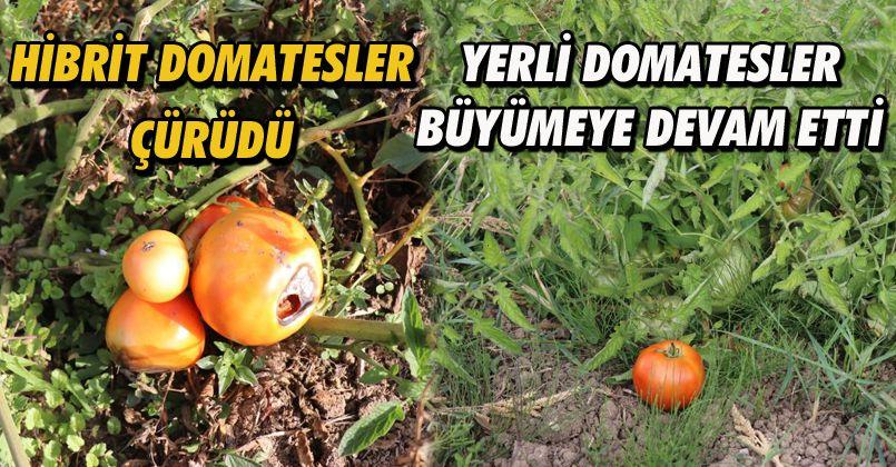 Hibrit domatesler çürüdü, yerli tohumlar dayanıklı çıktı