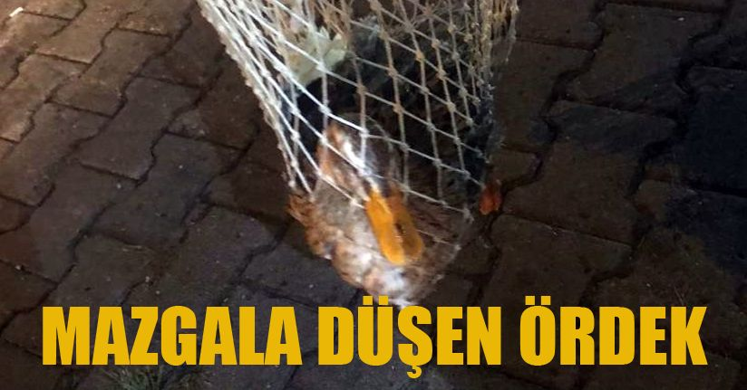 Mazgala sıkışan 2 ördek itfaiye ekiplerince kurtarıldı