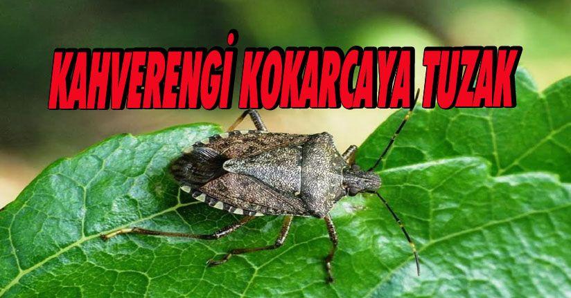 Kahverengi Kokarcaya Tuzak