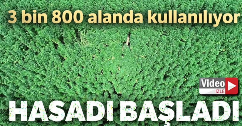 Samsun'da kenevir hasadı başladı