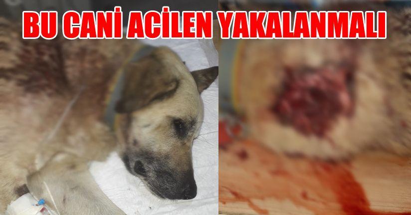 Mahallenin baktığı sokak köpeğini tüfekle ensesinden vurdular