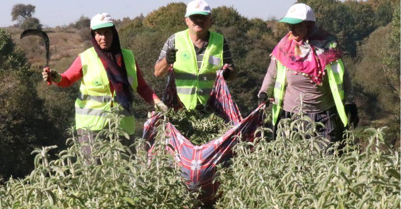 Bolu'da İlk 'Ada Çayı' Hasadı Yapıldı